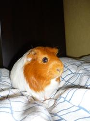 Teddy, rongeur Cochon d'Inde