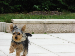 Bella, chien Yorkshire Terrier