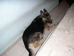 Penny, chien Berger allemand