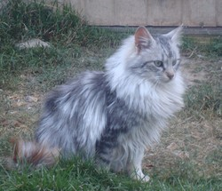 Cid De La Forêt Verte, chat