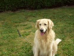 Rocky, chien Golden Retriever