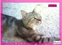 Athéna, chat Européen