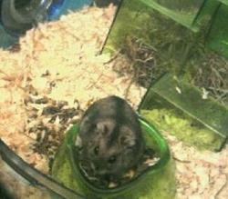 Pitchoue Au Paradis, rongeur Hamster