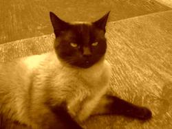 Pimbo, chat Balinais