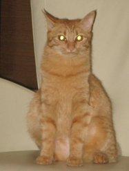 Callas, chat Gouttière