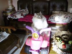 Vanille, chat Balinais