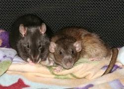 Ginger Et Amy, rongeur Rat