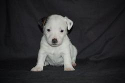 Elma, chien Jack Russell Terrier