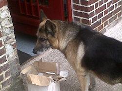 Rex L'ancien, chien Berger allemand