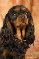 Eden Pink, chien Cavalier King Charles Spaniel