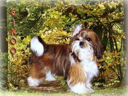 Eikoo, chien Shih Tzu
