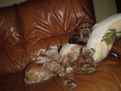 Rusty, chien Épagneul breton