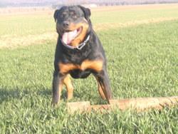 Assia, chien Rottweiler