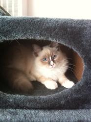 Fidou, chat Ragdoll