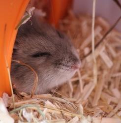 Inuk, rongeur Hamster