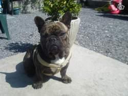 Arthur, chien Bouledogue français