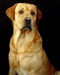 Athos, chien Labrador Retriever