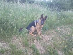 Frolik, chien Berger allemand