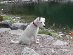 Earline, chien Parson Russell Terrier