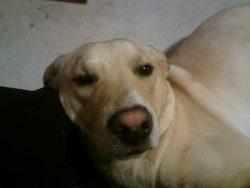 Haribo, chien Labrador Retriever
