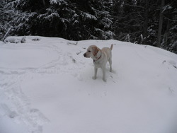 Diesel, chien Labrador Retriever