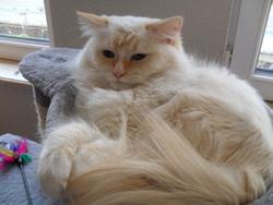 Félix, chat Ragdoll