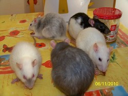 Siam , Onyx , Sunny , Plume, rongeur Rat