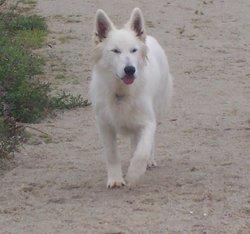 Fastoch', chien Berger blanc suisse
