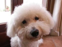 Eliot, chien Bichon à poil frisé