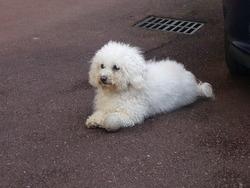 Charlotte, chien Bichon à poil frisé