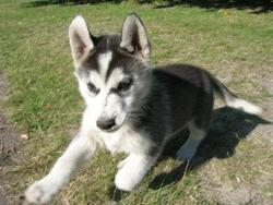 Skan, chien Husky sibérien