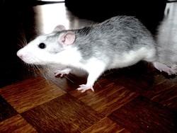 Grisette, rongeur Rat
