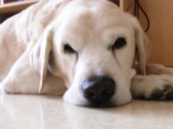 Menphis 1996-2010, chien Labrador Retriever