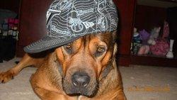 Fifti, chien Boxer