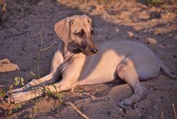 Ghada, chien Sloughi