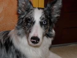 Elliott, chien Border Collie