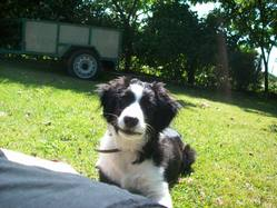 Esky, chien Border Collie