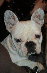 Pachou, chien Bouledogue français