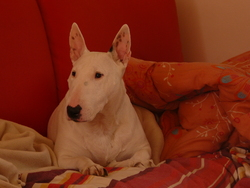 Mady, chien Bull Terrier