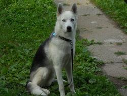 Inuk, chien Husky sibérien