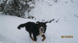 Datka, chien Bouvier bernois