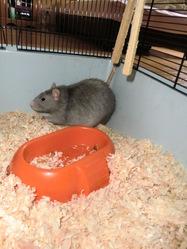 Uken, rongeur Rat