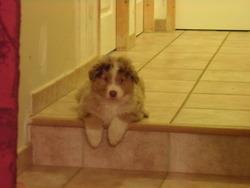 Freddy, chien Berger australien