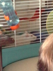 Loucki, rongeur Rat