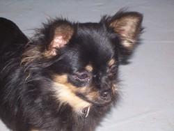 Fetiche, chien Chihuahua