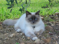 Bandit, chat Birman