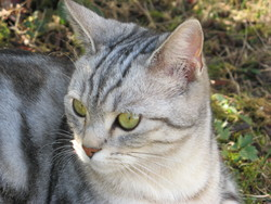 Eden, chat American Shorthair