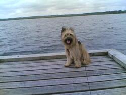 Ribere, chien Berger des Pyrénées