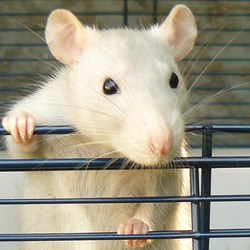 Delta, rongeur Rat