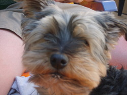 Twist, chien Yorkshire Terrier